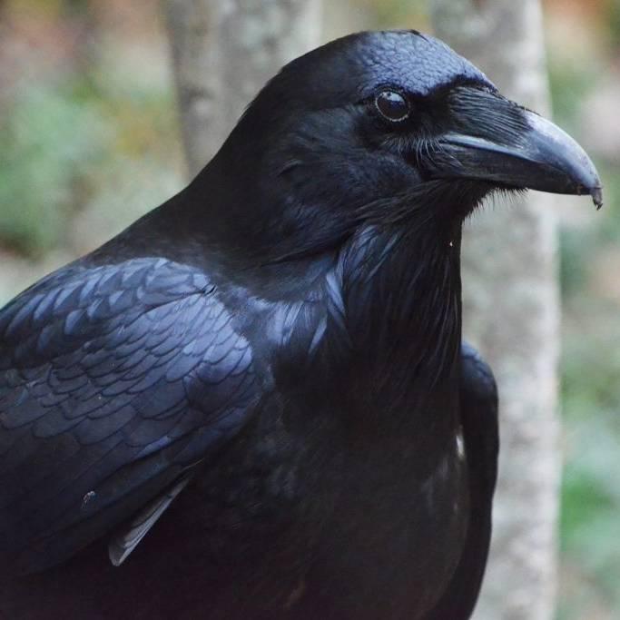 the_last_raven
